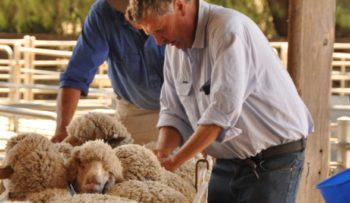 Macquarie - Merino Evaluation | Merino Superior Sires