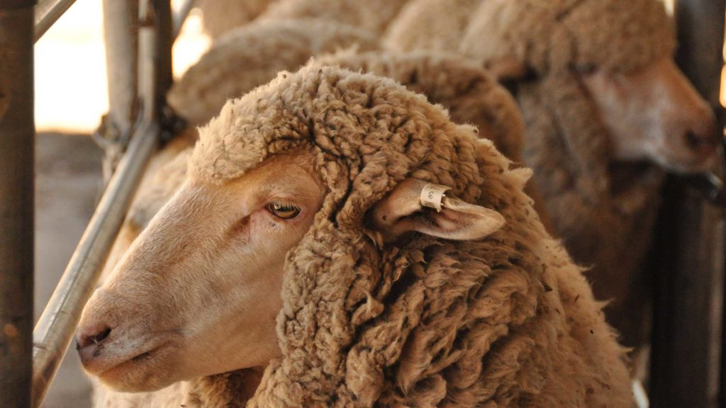 Macquarie - Merino Ram | Merino Superior Sires