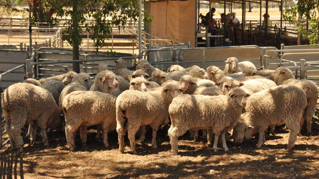 Macquarie Sheep Pen | Merino Superior Sires