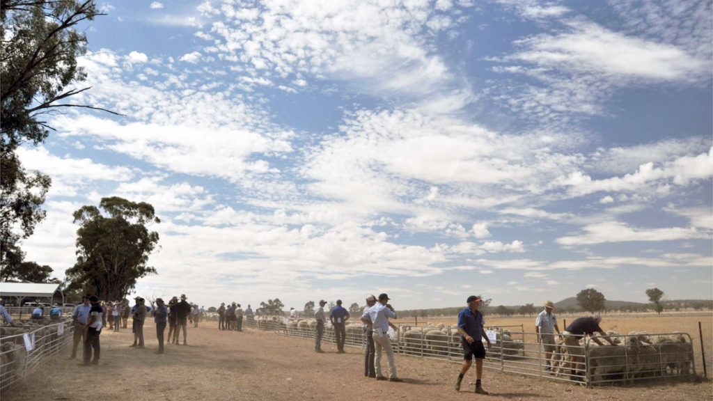 MerinoLink - Field Day Blue Sky | Merino Superior Sires