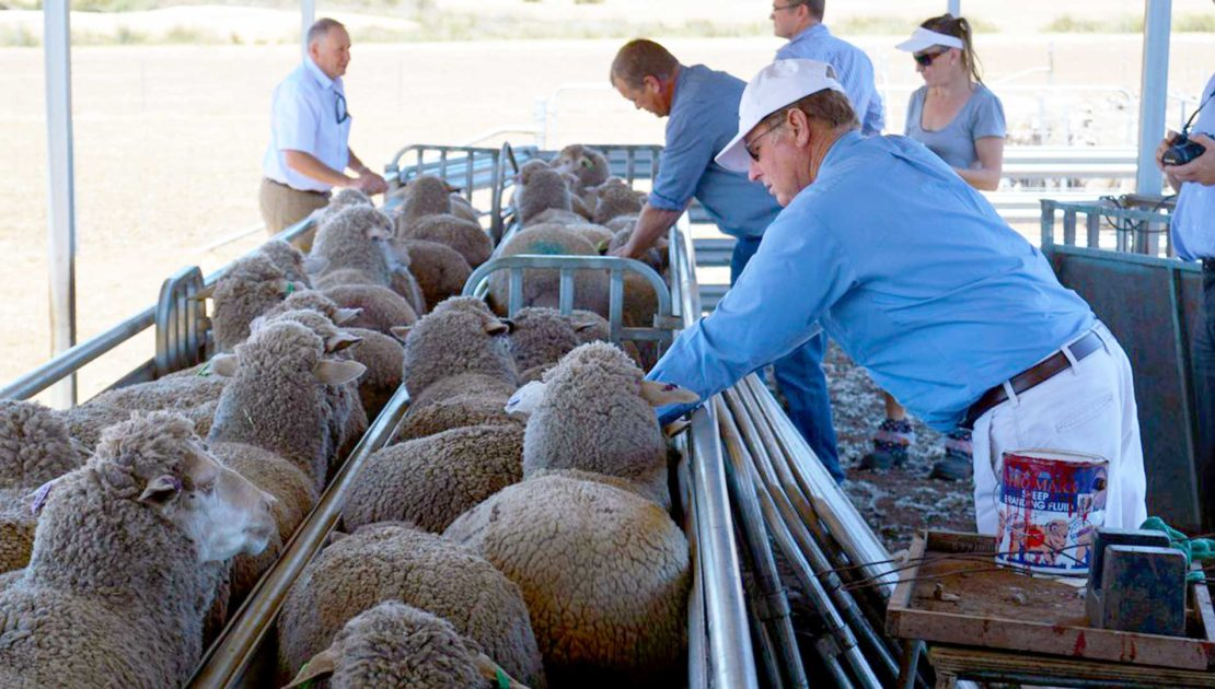 Western Australia Field Day | Merino Superior Sires