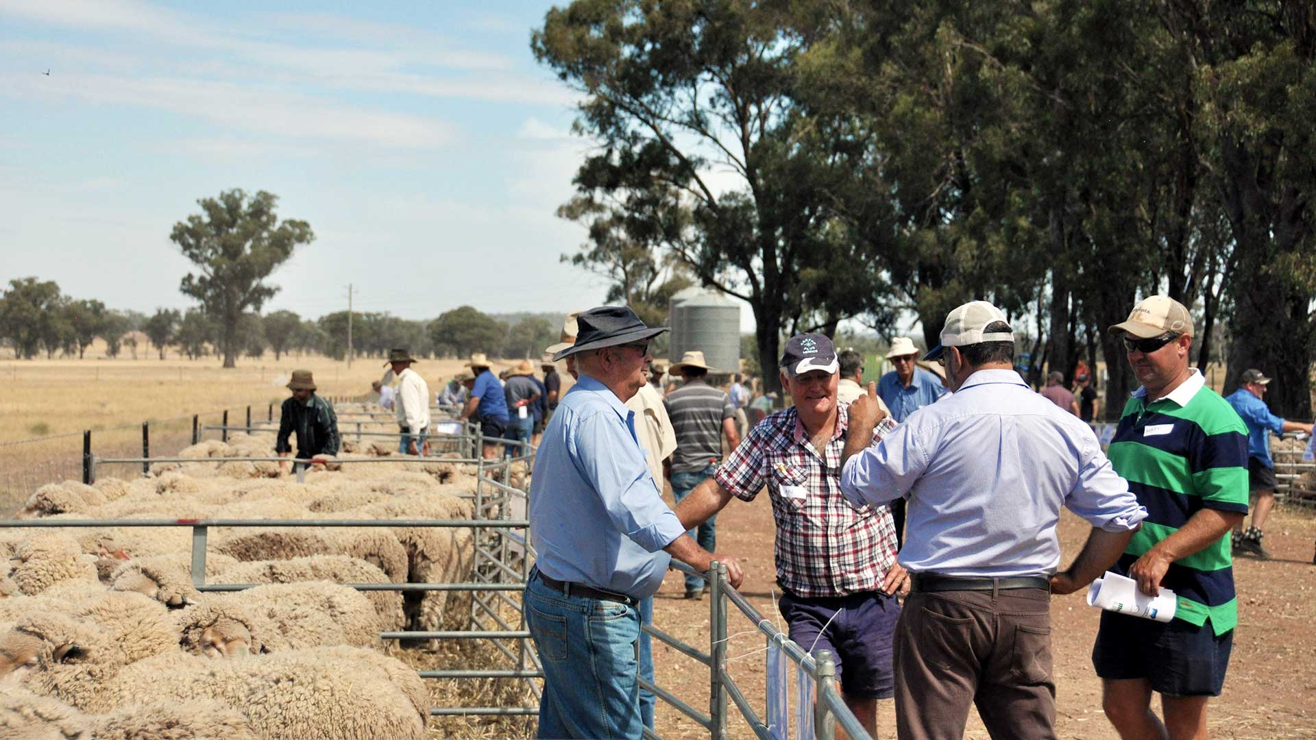 MerinoLink - Having a Good Chat | Merino Superior Sires