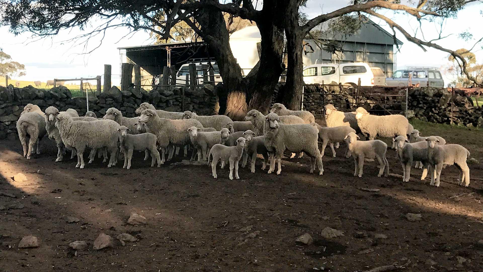 South Australia - Ewes & Lambs at Karinya Yards | Merino Superior Sires