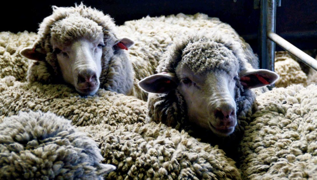 North East Victoria - Ewes & Rams | Merino Superior Sires