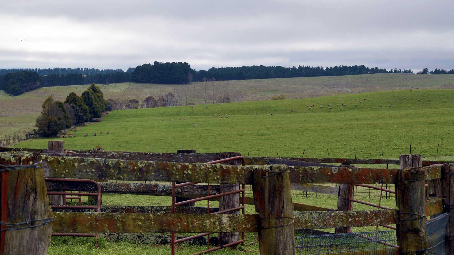 New England - Green Fields | Merino Superior Sires
