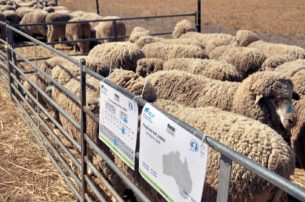 Pooginook Sires - Merino Lifetime Productivity Project | Merino Superior Sires