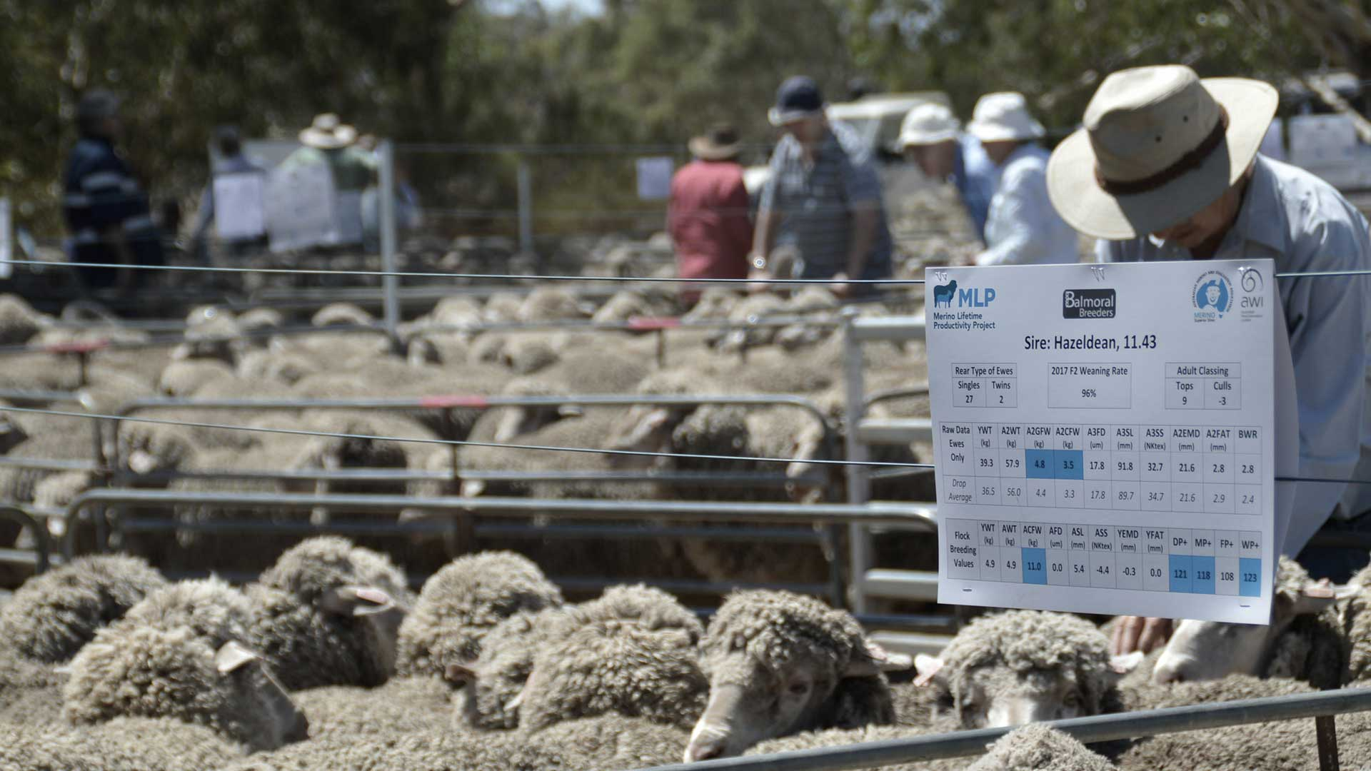 Balmoral - Sheep Classing Pen | Merino Superior Sires