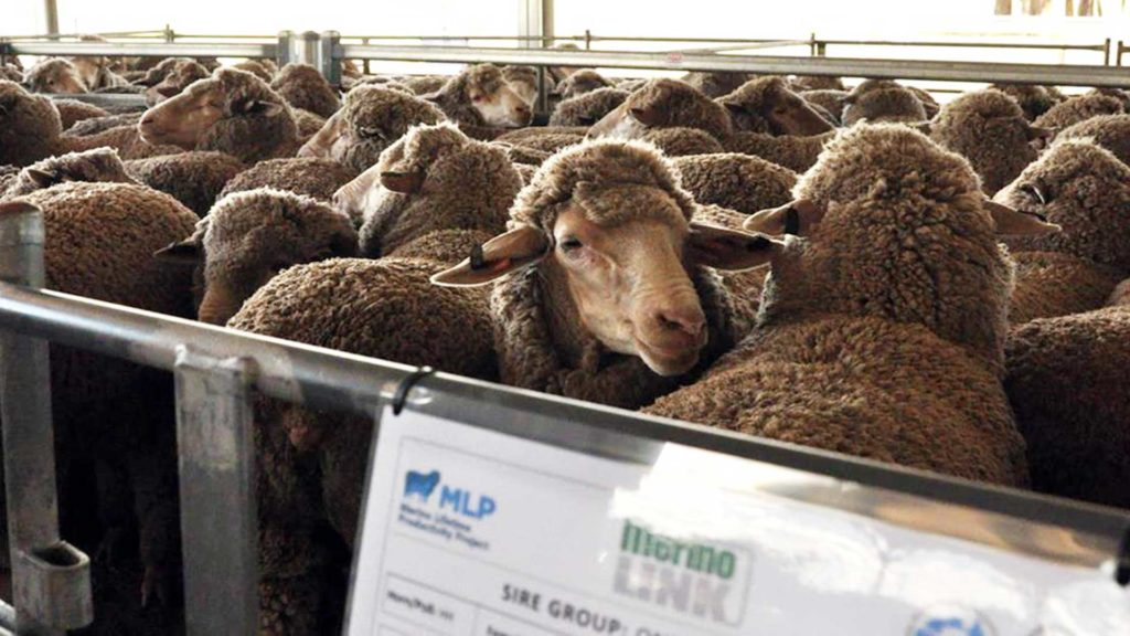 Sheep Close Up - Merino Lifetime Productivity Project | Merino Superior Sires
