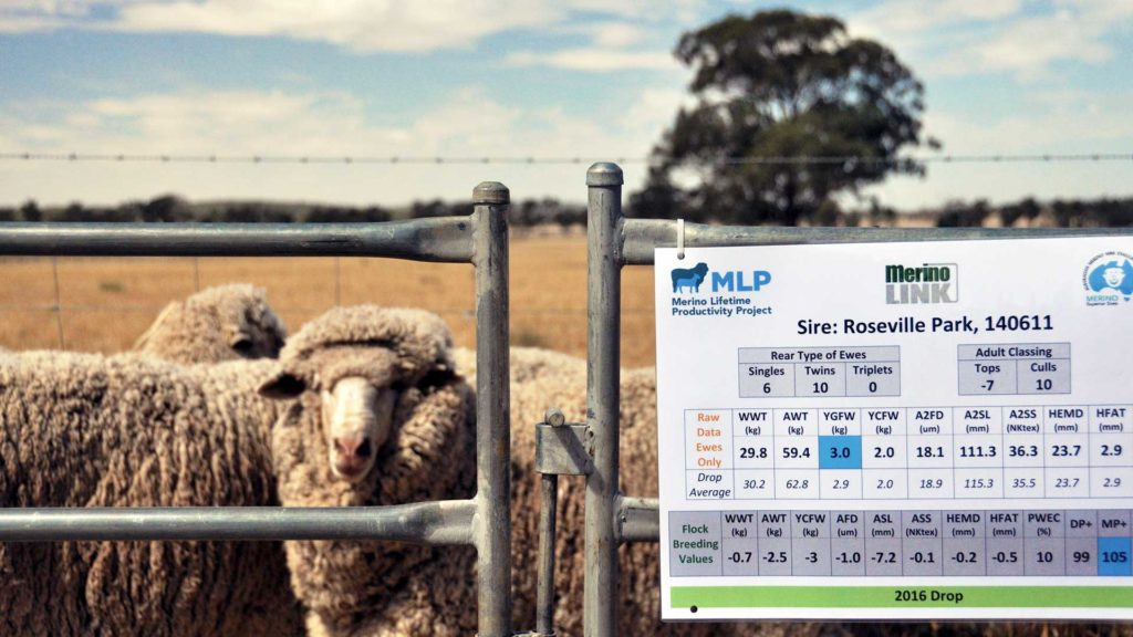 Sheep Evaluation - Merino Lifetime Productivity Project | Merino Superior Sires