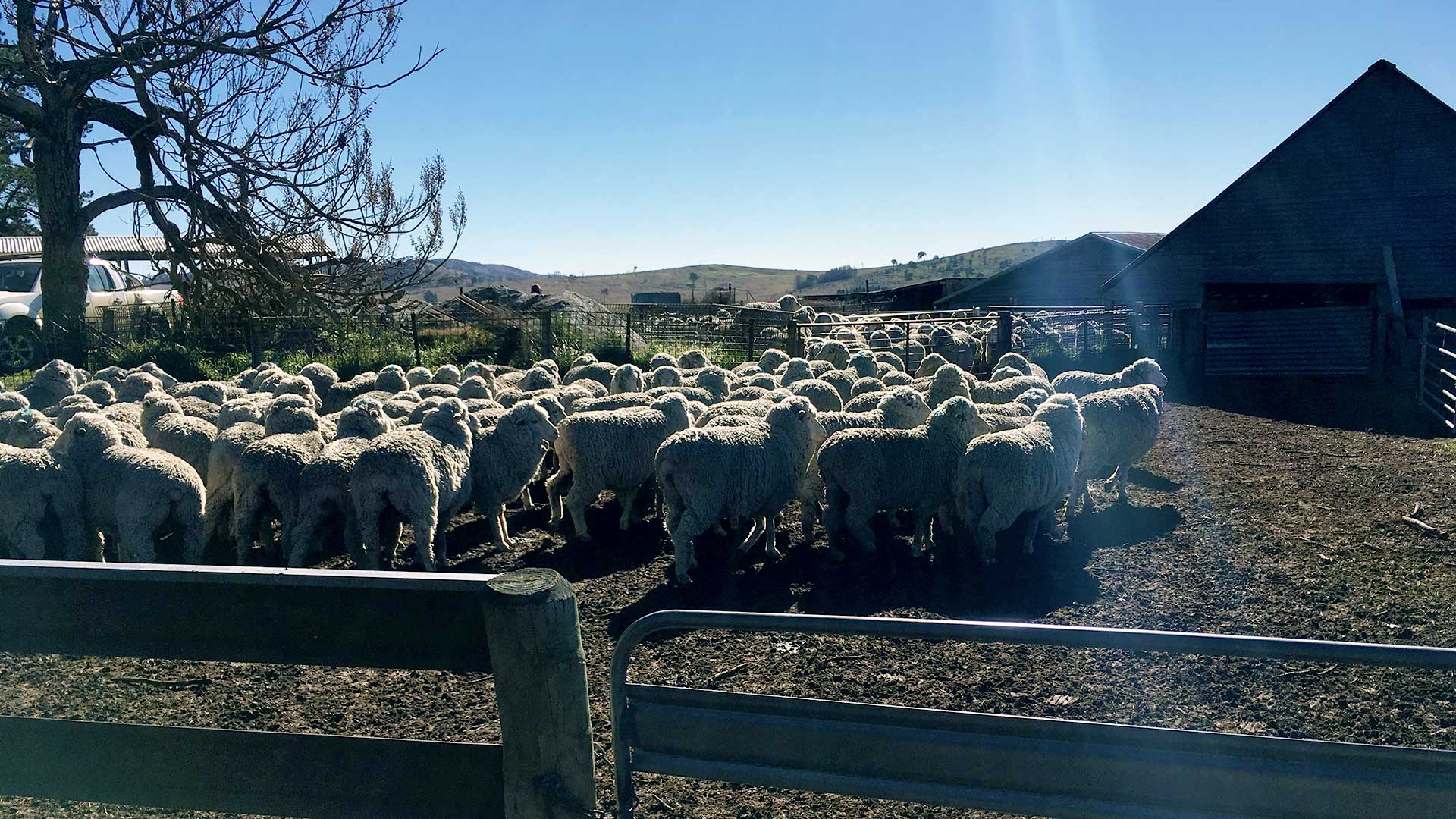 New England - Sheep in a Muddy Paddock | Merino Superior Sires