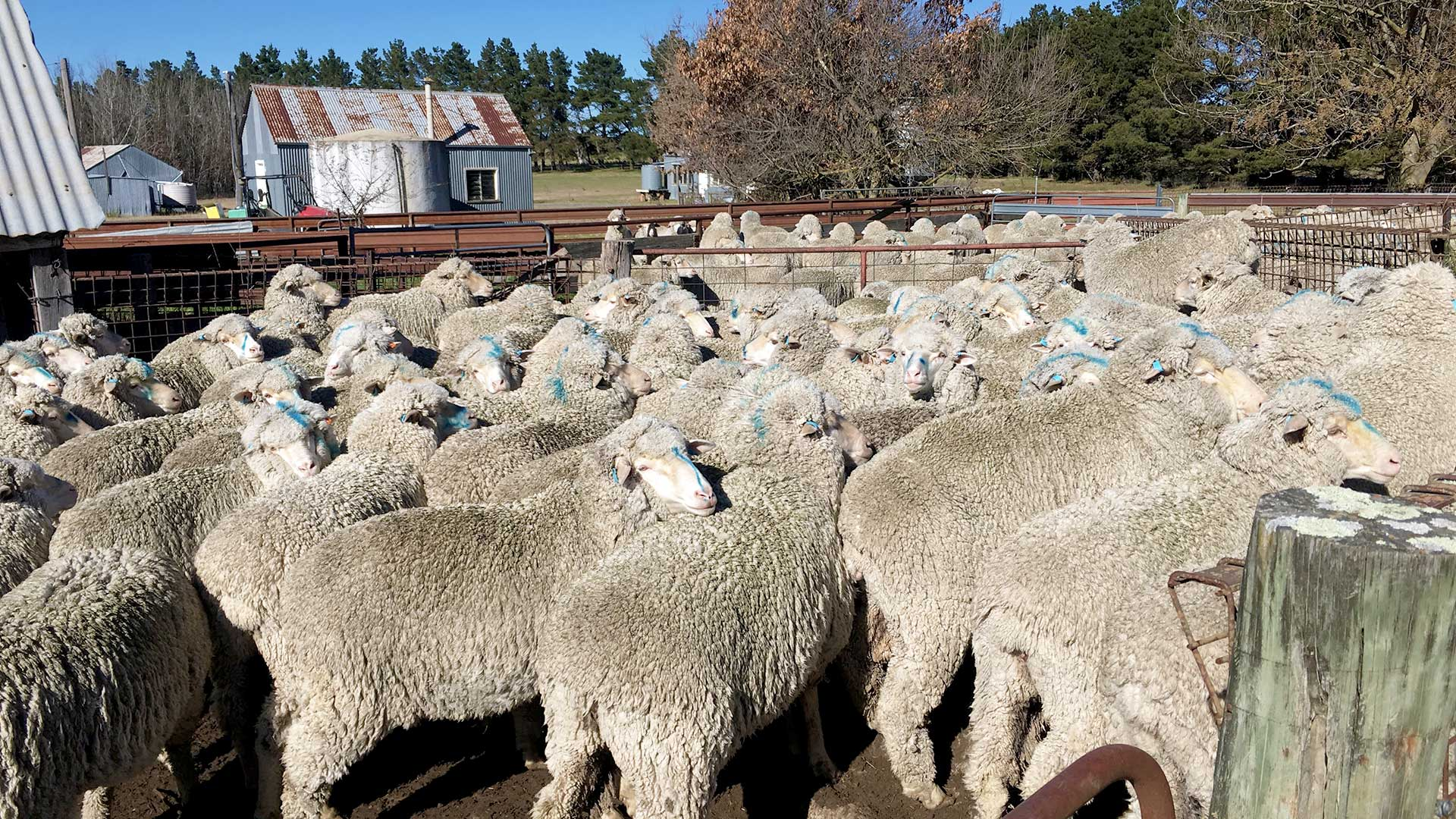 New England - Sheep & Old Tin Shed | Merino Superior Sires