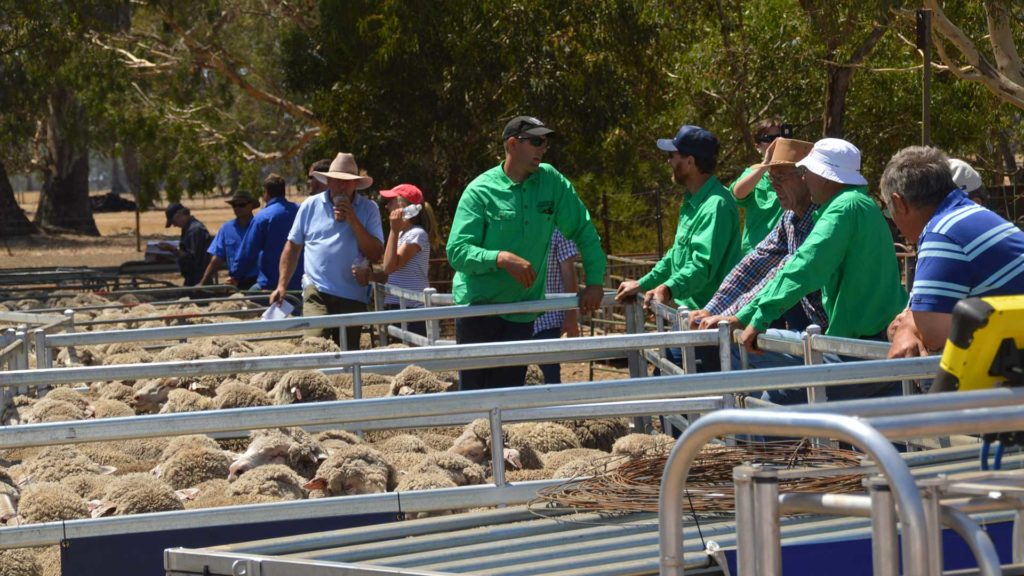 Balmoral - Merino Sheep in Pens | Merino Superior Sires
