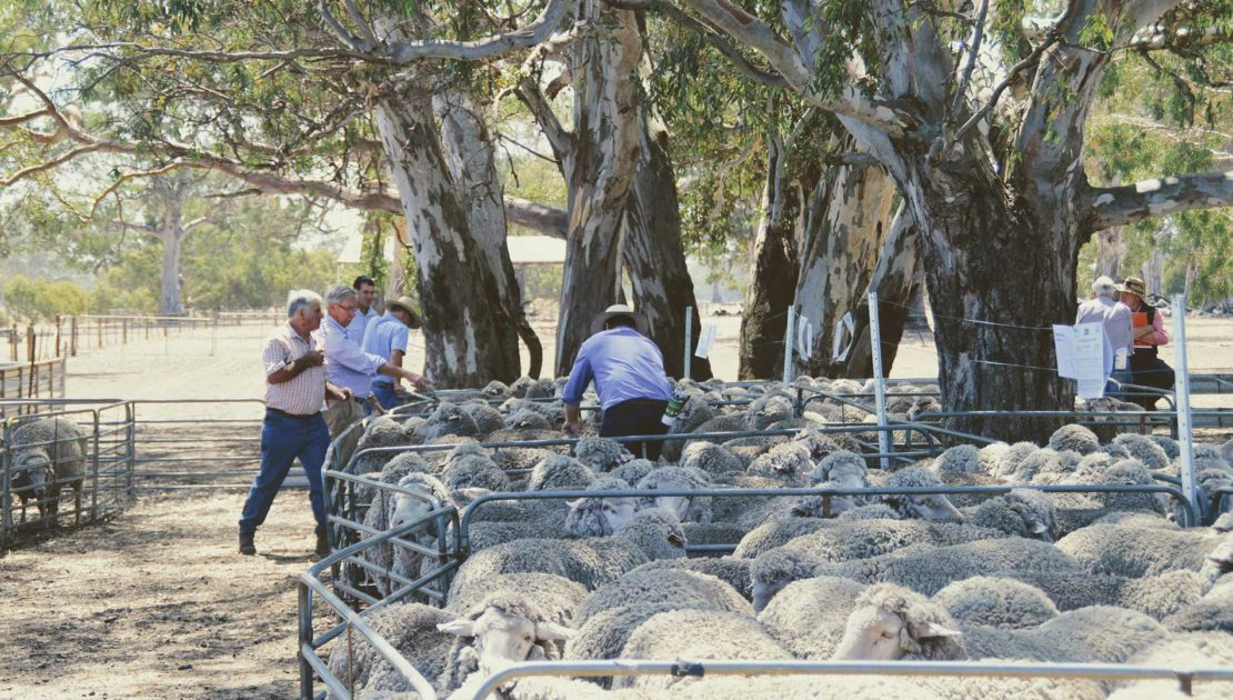 Balmoral - Merino Sheep Under Eucalytpus | Merino Superior Sires
