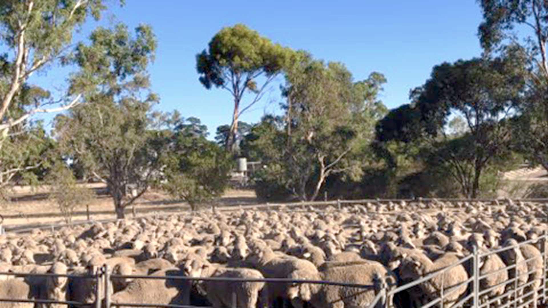 South Australia - Sheep Pen #2 | Merino Superior Sires
