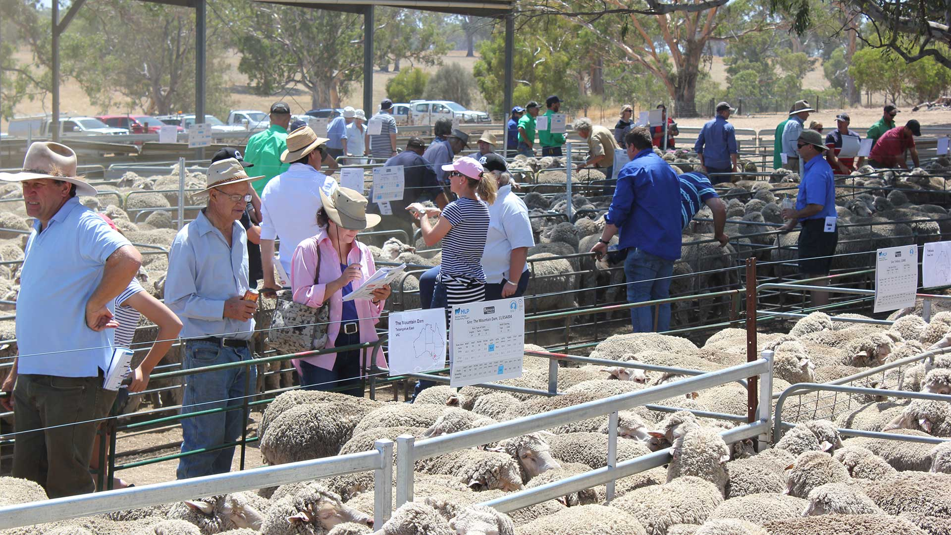 Balmoral - Merino Sheep Pens Viewing | Merino Superior Sires