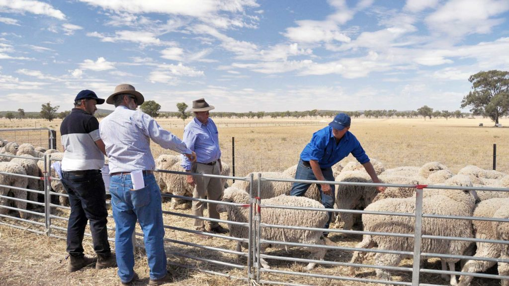 Site Evaluation - Merino Lifetime Productivity Project | Merino Superior Sires