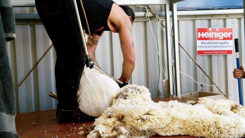 Muresk - Wool Shearing Demonstration #1 | Merino Superior Sires